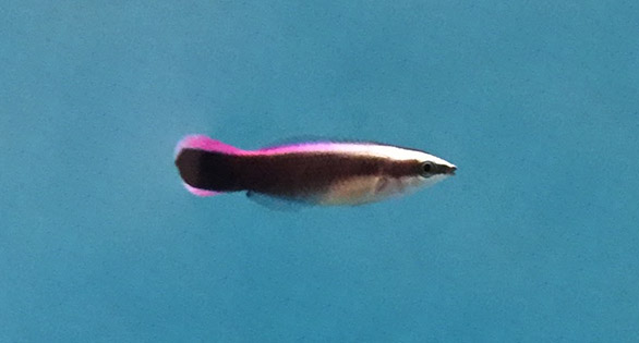 Hawaiian Cleaner Wrasse, captive-bred, 118 days post hatch.