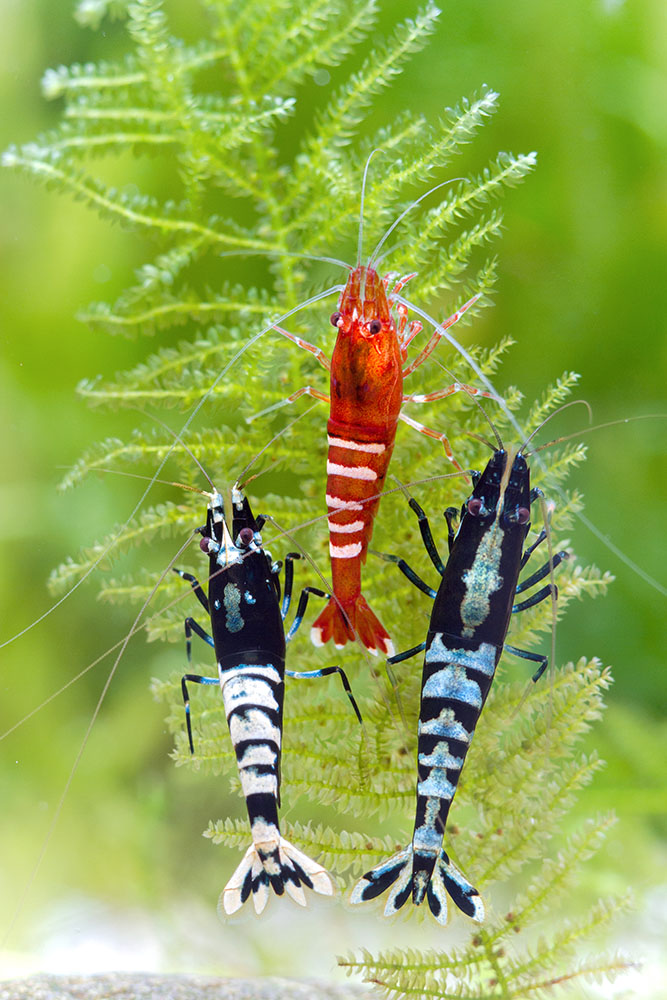 What were once nondescript wild freshwater shrimps, Bee Shrimps are now available in a dazzling array of color variations and strains due to the efforts of breeders.