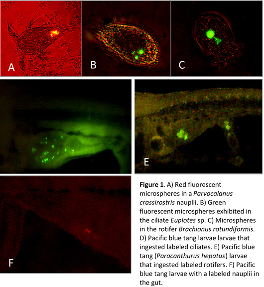 Figure 1. A) Red fluorescent microspheres in a Parvocalanus crassirostris nauplii. B) Green fluorescent microspheres exhibited in the ciliate Euplotes sp. C) Microspheres in the rotifer Branchionus rotundiformis. D) Pacific blue tang larvae that ingested labeled ciliates. E) Pacific blue tang (Paracanthurus heaptus) larvae that ingested labeled rotifers. F) Pacific blue tang larvae with a labeled nauplii in the gut.