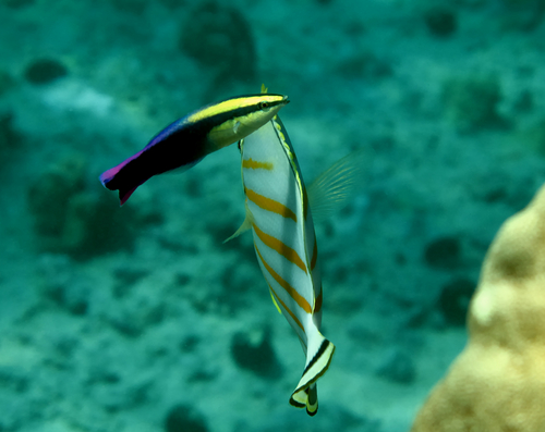 "A Hawaiian Cleaner Wrasse is visited by the Ornate or Clown Butterflyfish, Chaetodon ornatissimus; both species have ""avoid at all cost"" reputations in the aquarium hobby due to poor feeding track records. But with husbandry and breeding breakthroughs, those reputations could one day change. Image credit: Karl Keller/Shutterstock"