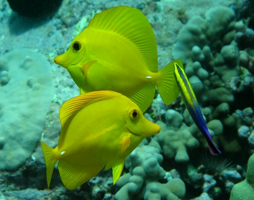 Robert Wintner's two favorite posterchild species in his ongoing campaign to end the aquarium trade in Hawaii, the Yellow Tang (Zebrasoma flavescens) and the Hawaiian Cleaner Wrasse (Labroides phthirophagus). Image credit: Karl Keller/Shutterstock