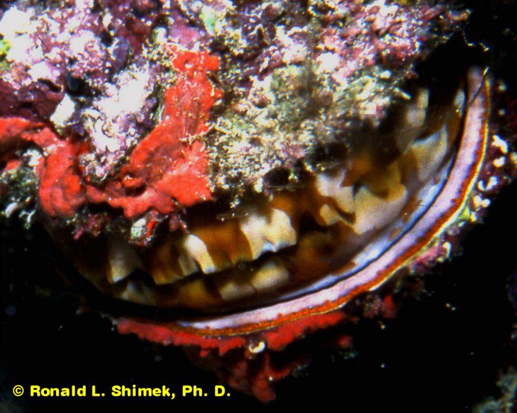 Spondylus scallop