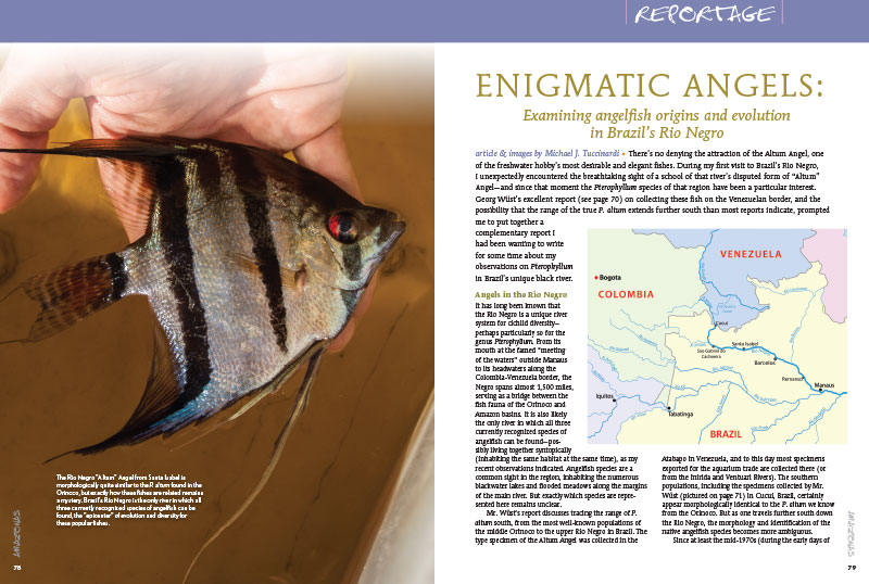 "Not to be missed by lovers of Pterophyllum spp.! ""ENIGMATIC ANGELS: Examining angelfish origins and evolution in Brazil's Rio Negro,"" by Michael J. Tuccinardi."