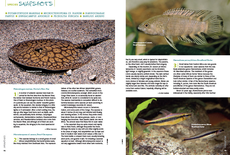 "This issue's ""Species Snapshots"" shares the first-time import of Marina's River Ray (Potamotrygon marinae), the rarely-seen Dwarf Ctenopoma (Microctenopoma cf. nanum), the African Broadband Darter Tetra (Nannocharax parvus), the specialist-suited African Dwarf Redsnout Pipefish (Enneacampus ansorgii), Peckoltia furcata (which displays an impressively large forked caudal fin), and the Bluespot ""Hill Trout"" (Barilius ardens)."