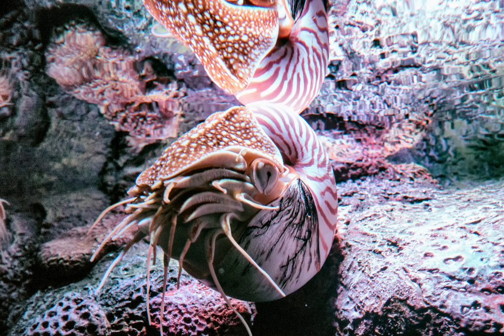 A Chambered Nautilus, on display at the Monterey Bay Aquarium. Image by Eric Kilby, CC-BY-SA-2.0