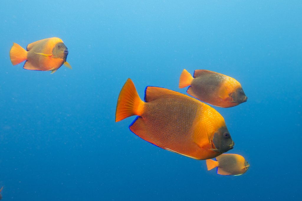 The Clarion Angelfish, Holacanthus clarionensis, is a somewhat rare species in the aquarium trade, typically selling for $2500 to $4000 per fish, and these days more commonly seen as a captive-bred offering out of Bali Aquarich. Image by Elias Levy, CC-BY-2.0