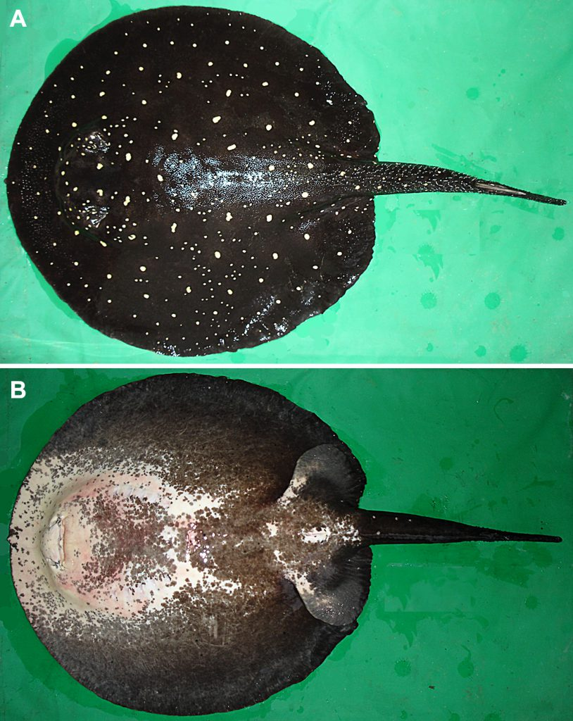 The Itaituba or P14 Ray, described as Potamotrygon albimaculata