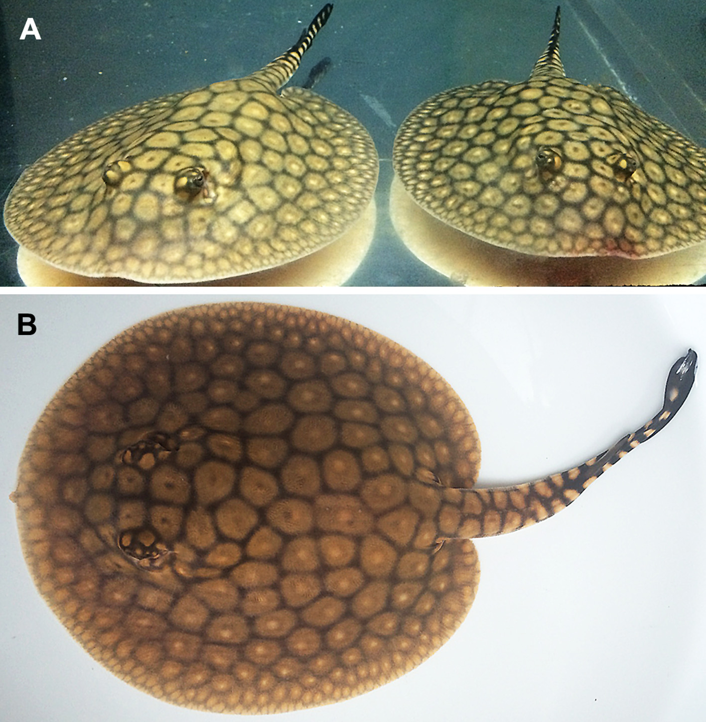 juvenile itaituba rays like most black ray species undergo a major color change as