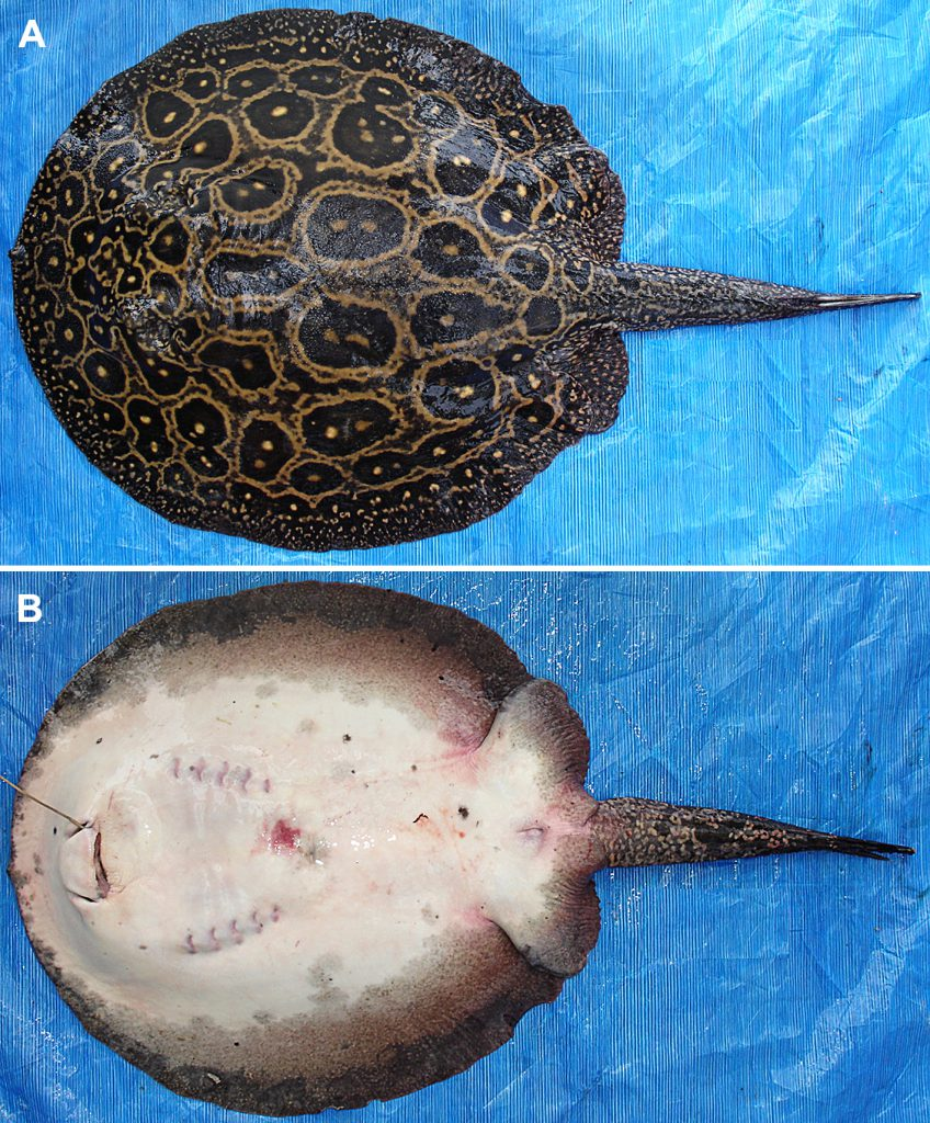 The Pearl Stingray, now formally described as Potamotrygon jabuti