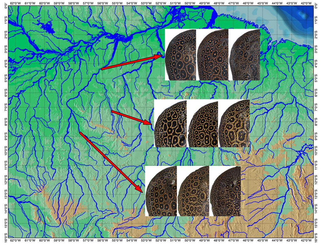Distribution and pattern variation of the Pearl Ray (P. jabuti) along the Tapajos Basin