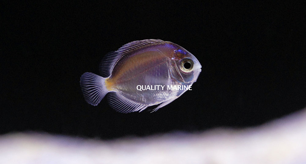 A rare look at an aquacultured Multicolor Angelfish, Centropyge multicolor. It's post-larval, but not yet through the final transition into juvenile coloration.