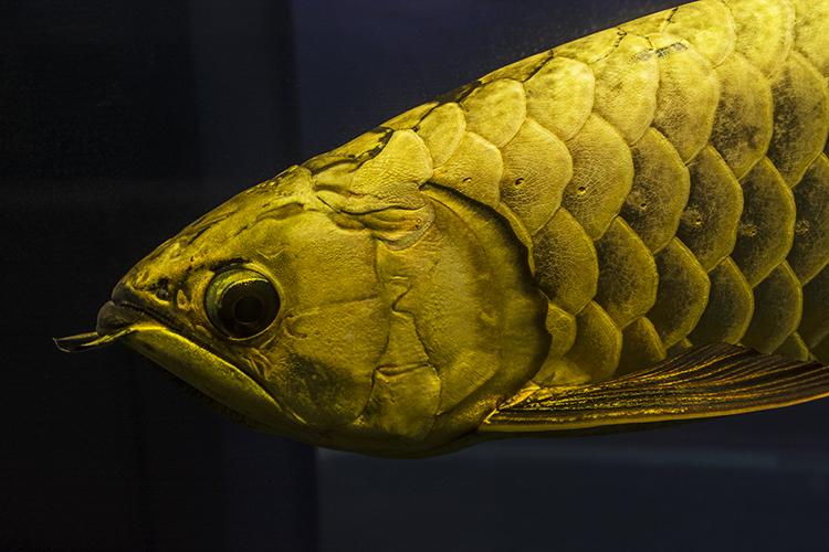 Champion Golden Arowana