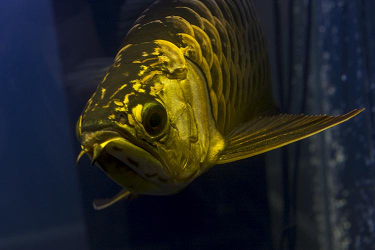 One of the champion Golden Arowana