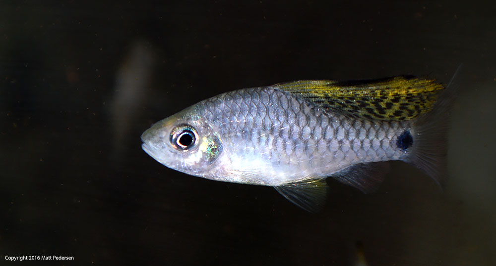 The large dorsal fin in the male droops or drapes when not being displayed.