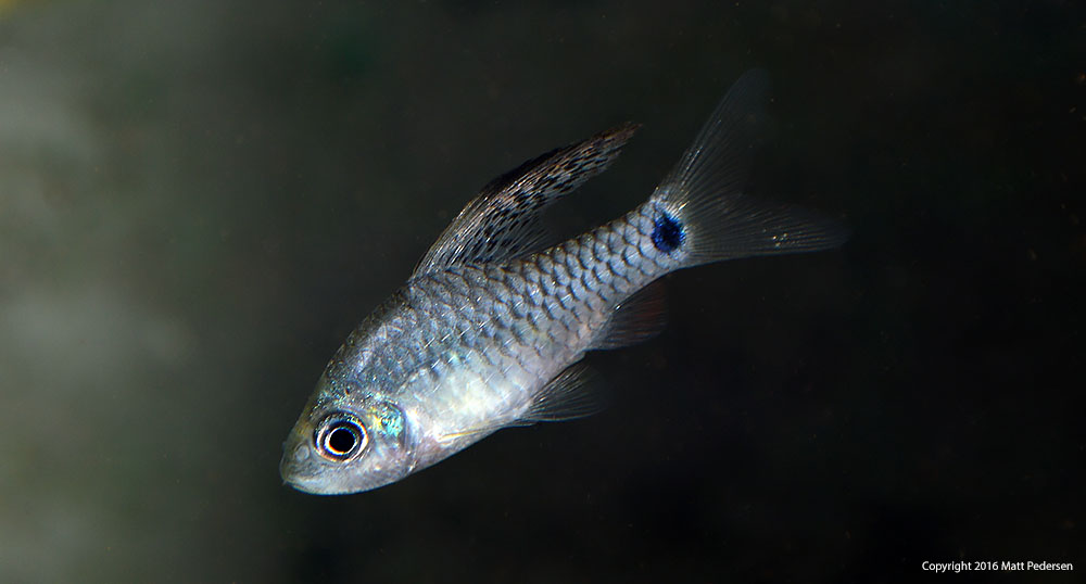 This larger male Drape Fin Barb seems to lack the bright yellow coloration of others in his group.