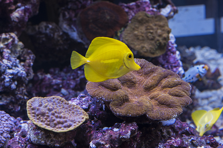 These fish, from the first batch of yellow tangs to be bred in captivity, are growing up healthy and appear to be thriving