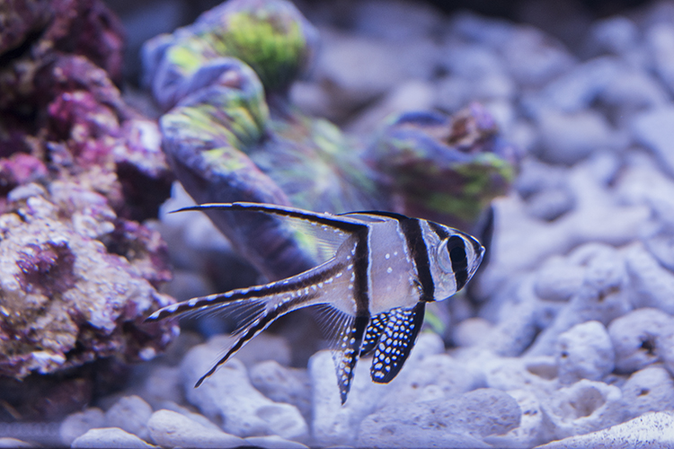 Captive-bred Banggai Cardinal at Quality Marine's display