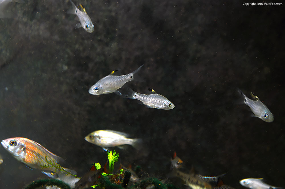 "This wider shot shows two female Drape Fin Barbs in the center, with young males at top and right, and a male (bottom left) and female Ptyochromis sp. ""Hippo Point Salmon"", a Victorian Haplochromine Cichlid species, along with some Checkerboard Barb tankmates along the bottom of the shot."