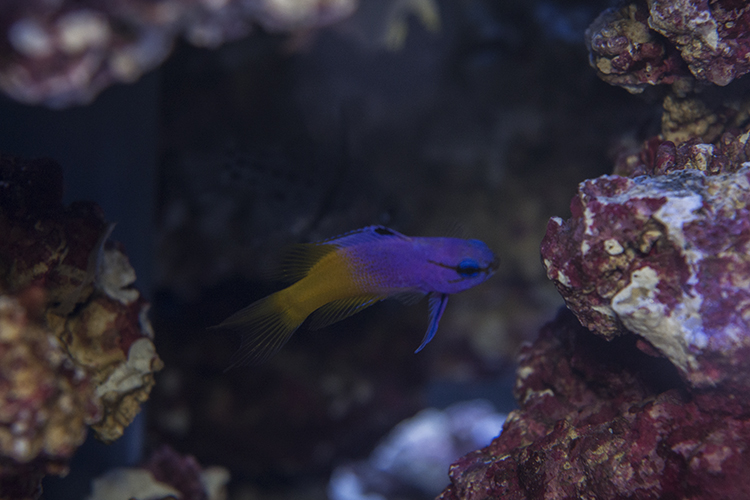 Captive-bred Royal Gramma were on display at Quality Marine's booth in their first public appearance