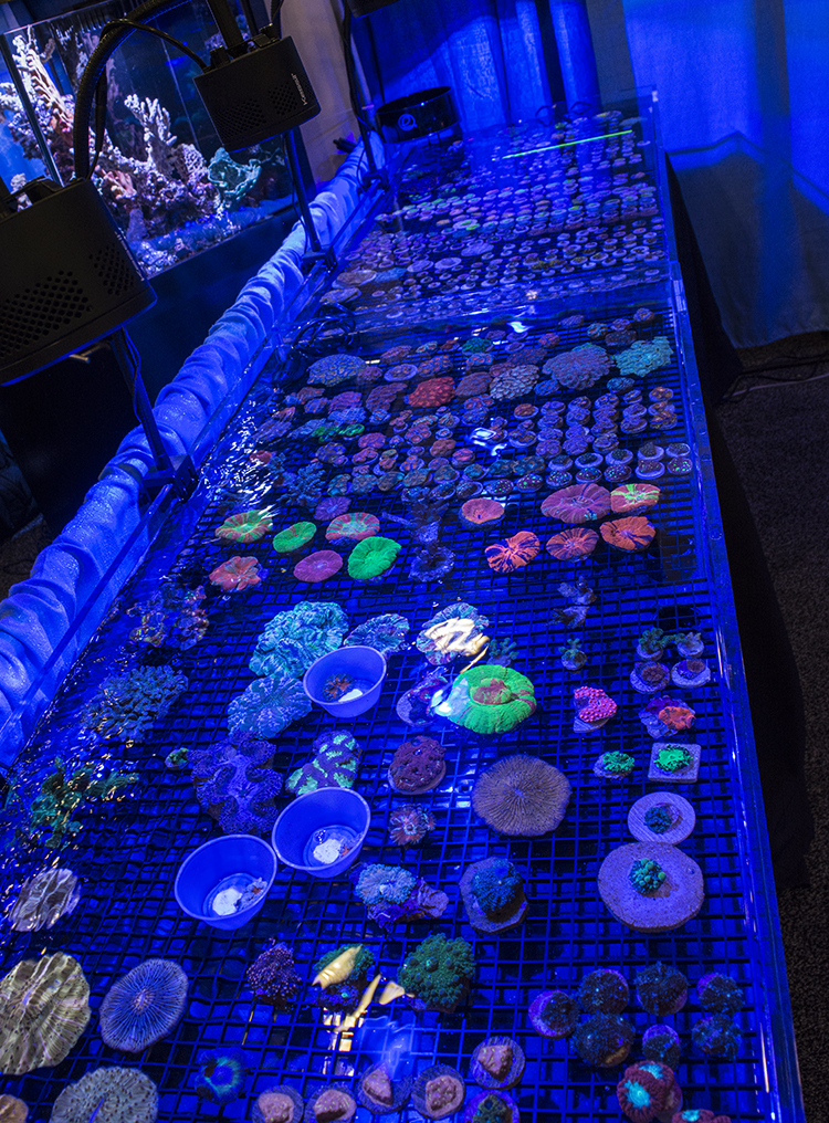 It wouldn't be MACNA without plenty of the hottest corals for sale from vendors all over the US. Here, SD Corals (a local company) showcases some amazing Scolymia, Bounce Mushrooms, and much more