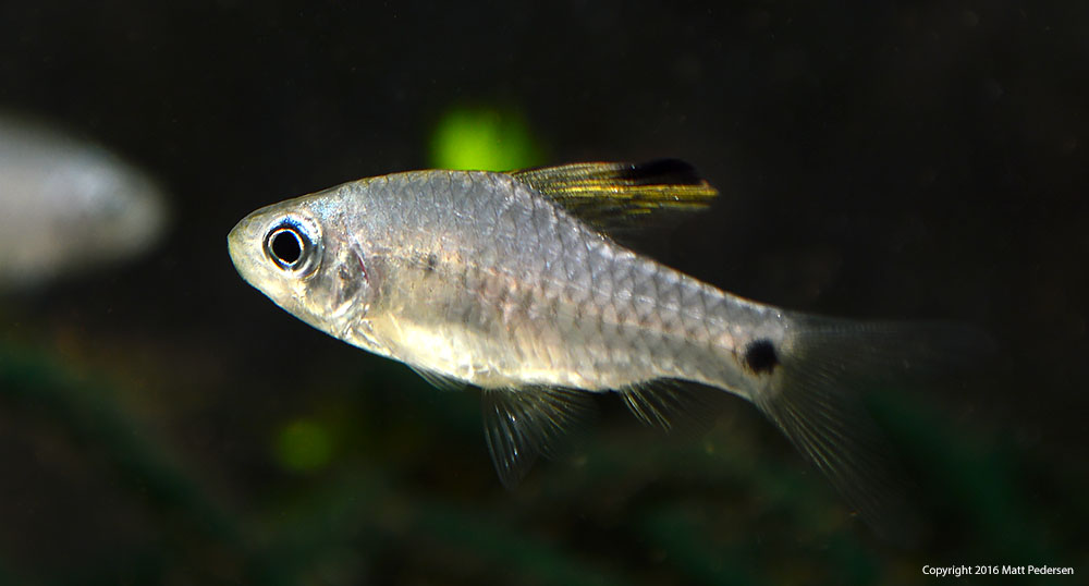 At first glance this specimen looks like a female, but the spotting on the rear end of the dorsal fin belies that this fish is simply a young male, the dorsal fin still due to grow substantially.
