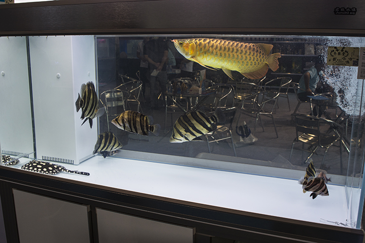 "Display showcasing some of the most popular ""monster"" fish species in Asia: the Asian Arowana, Datnioides, and a hybrid Black Stingray"