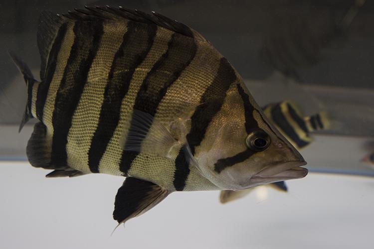 Large Tigerfish (Datnioides sp.) on display