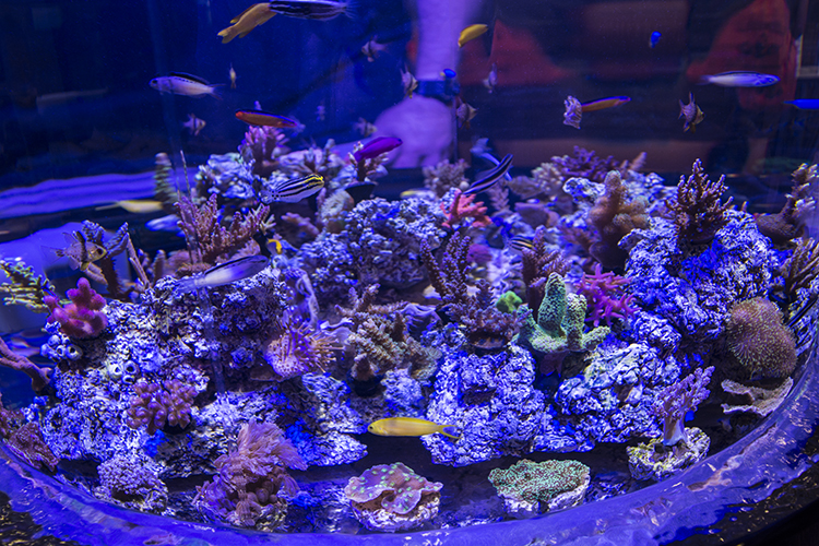 Captive-bred blenny diversity on display at ORA's booth
