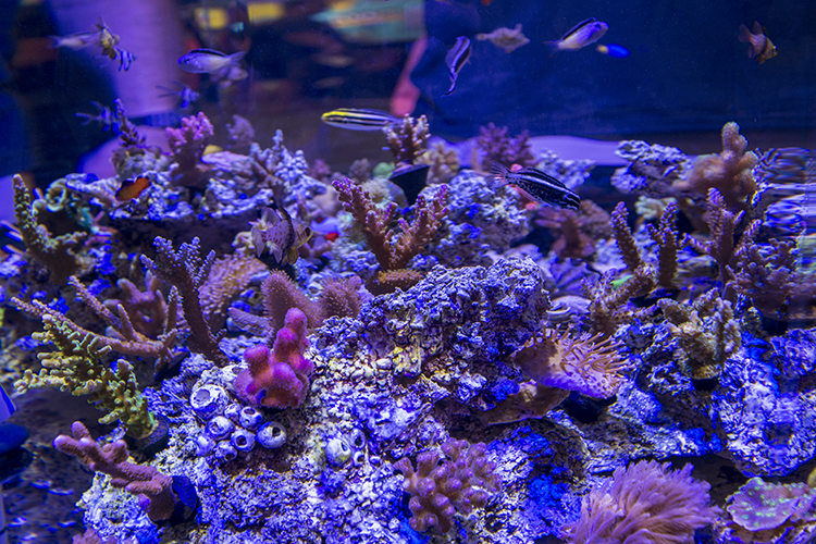 ORA didn't disappoint with their always-impressive edgeless reef display, this year featuring their captive-bred Kamohara Blennies (among many other fish)