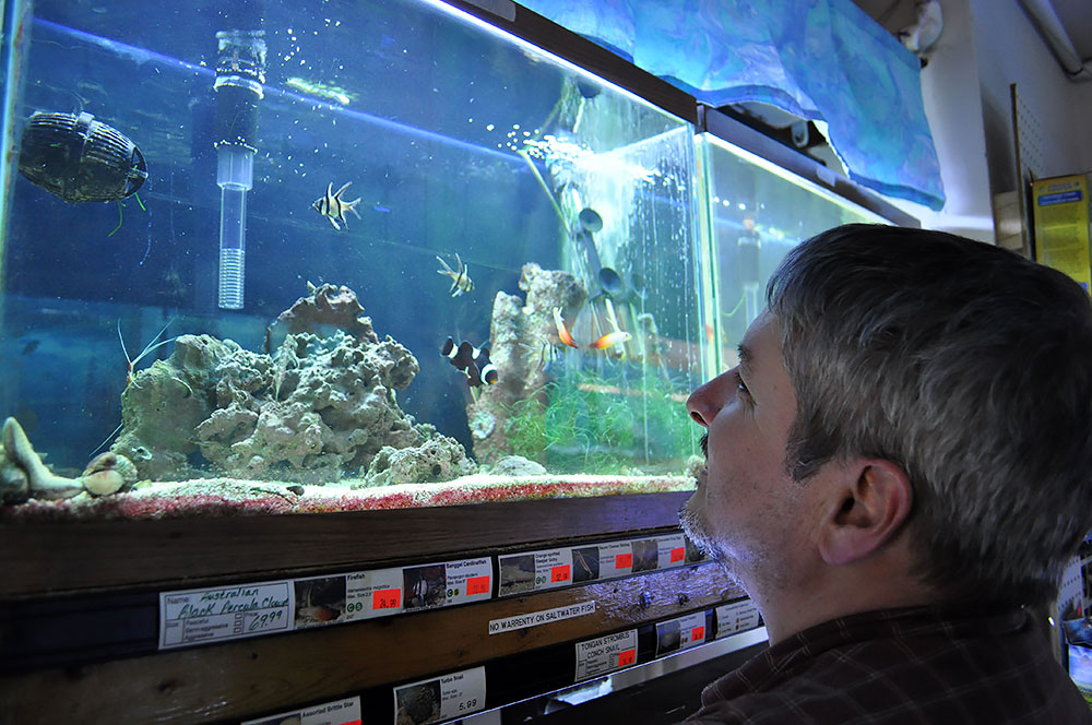 John Kamp at World of Fish in Duluth, MN, inspecting recently arrived Banggai Cardinalfish. The species remains a perennial favorite, generally in the top-10 species imported into the US.