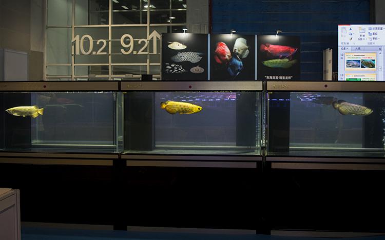 Part of the extensive Arowana competition at Aquarama