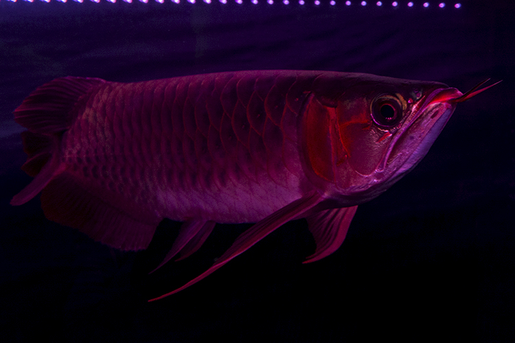 Super Red Asian Arowana in one of the competition displays