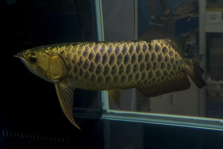 Another impressive Arowana in an exhibitor's tank