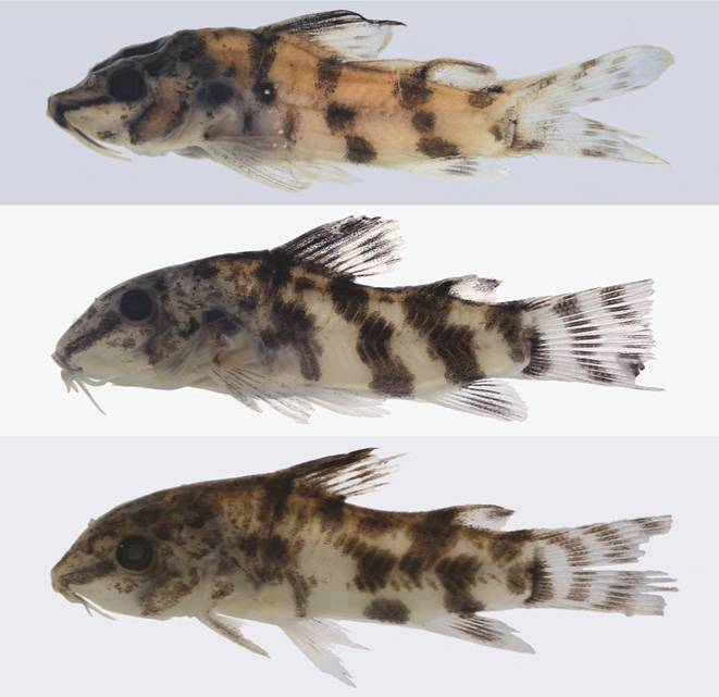 Juvenile paratypes of S. reisi highlight a particularly attractive juvenile color pattern. CC BY 4.0