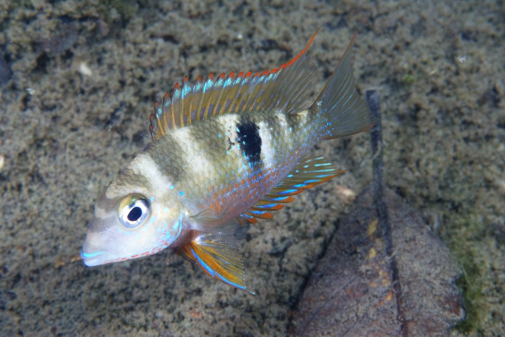 "Thorichthys callolepis ""Rio Carolina"". Image courtesy American Cichlid Association"