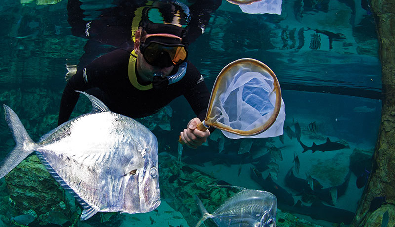 Biologist Kevin Barden collecting Atlantic Blue Tangs in the Grand Reef at Discovery Cove. Snorkeling at sunset allows us to collect the eggs of different species as they spawn, making it easier to run experiments that will help solve the tang larvae puzzle.