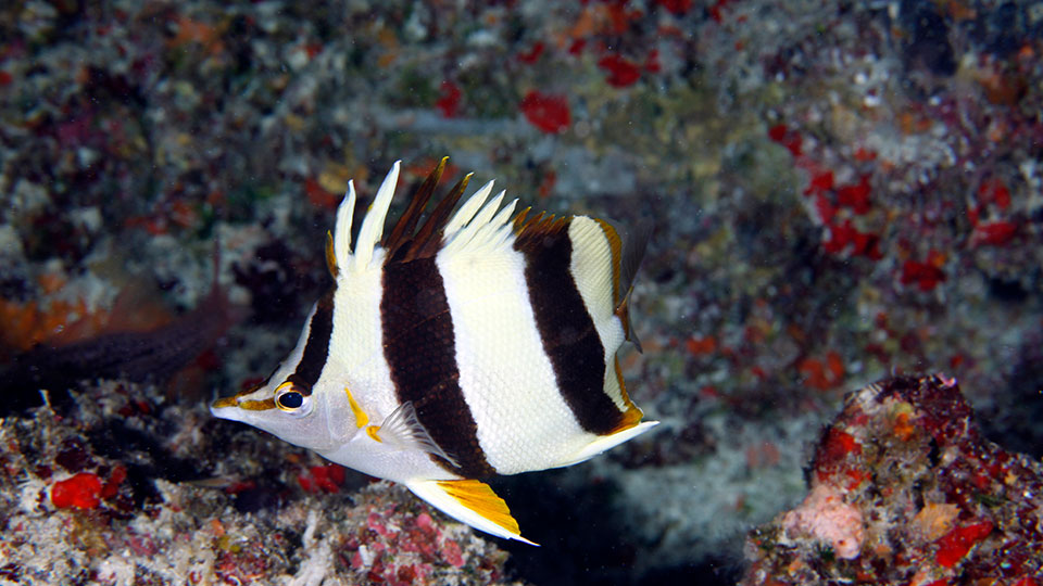 Pete Basabe's Butterflyfish (Prognathodes basabei Pyle and Kosaki 2016) at a depth of 180 feet off Pearl and Hermes Atoll, Northwestern Hawaiian Islands. Credit: Greg McFall/NOAA