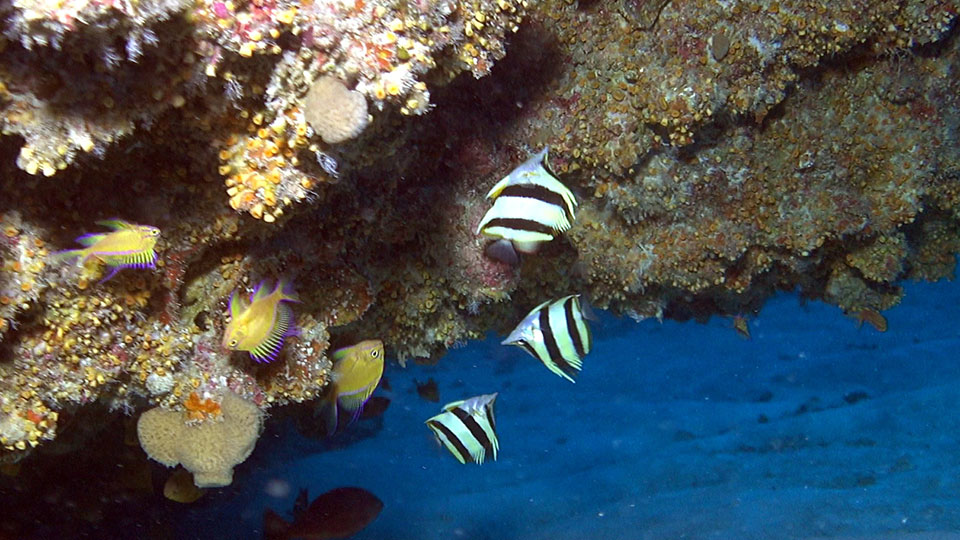 A group of three Pete Basabe's Butterflyfish (Prognathodes basabei Pyle and Kosaki 2016) under a ledge at a depth of 300 feet off Pearl and Hermes Atoll, Northwestern Hawaiian Islands. Credit: Richard L. Pyle / Bishop Museum