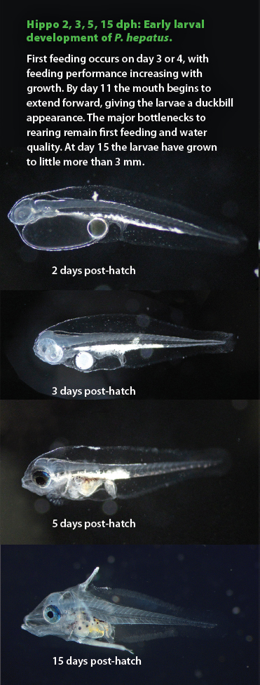 Hippo 2, 3, 5, 15 dph: Early larval development of P. hepatus. First feeding occurs on day 3 or 4, with feeding performance increasing with growth. By day 11 the mouth begins to extend forward, giving the larvae a duckbill appearance. The major bottlenecks to rearing remain first feeding and water quality. At day 15 the larvae have grown to little more than 3 mm.