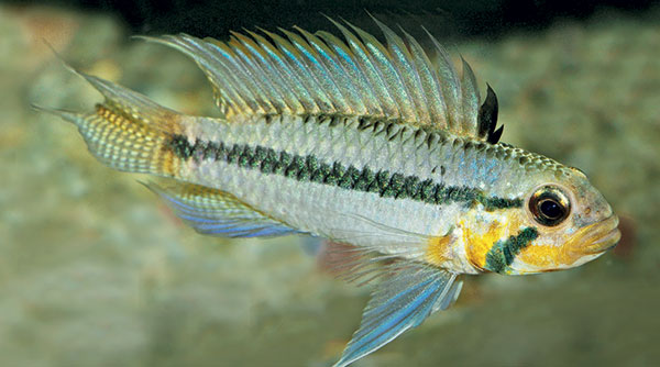 An adult yellow morph male of Apistogramma sororcula. Image from Staeck & Schindler