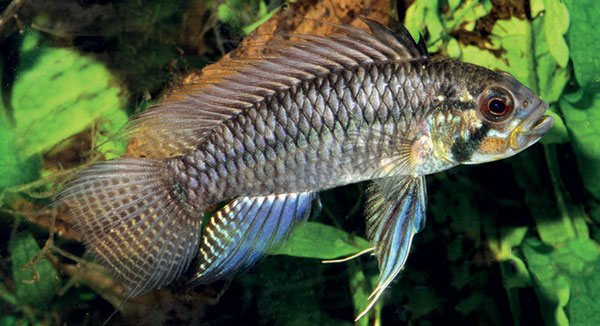 The blue color morph of Apistogramma sororcula - from Staeck & Schindler