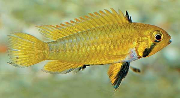 Female coloration in Apistogramma sororcula ramps up to bright yellow during broodcare - from Staeck & Schindler
