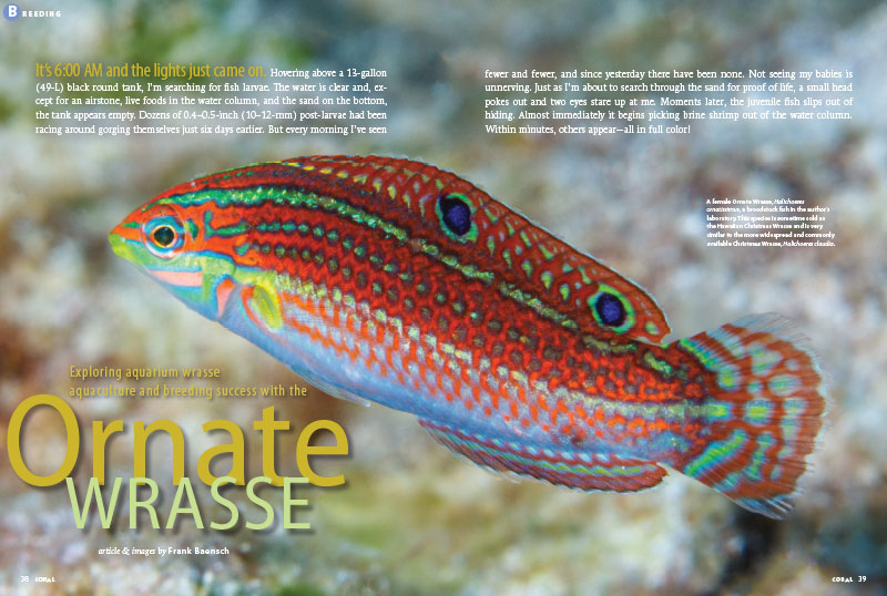 """It's 6:00 AM and the lights just came on..."" writes Frank Baensch, searching for fish larvae. ""Every morning I've seen fewer and fewer, and since yesterday there have been none."" How could this be a tale of breeding success with the Ornate Wrasse? Find out in the new CORAL issue!"