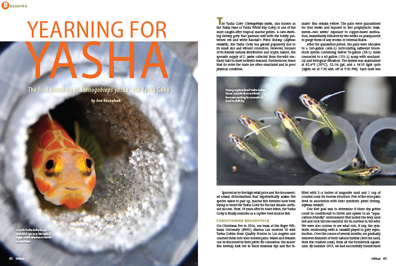 You've seen the news of captive-bred Yasha Gobies entering the marine aquarium trade. Now, Joe Szczebak, from the team at Roger Williams University, pulls back the green curtain and reveals the Yasha Goby's secrets.