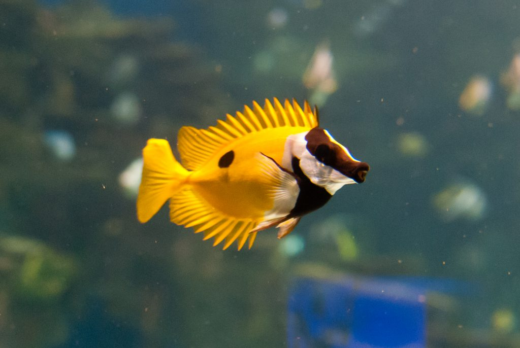 Blotched foxface fish found in florida waters for Fish native to florida