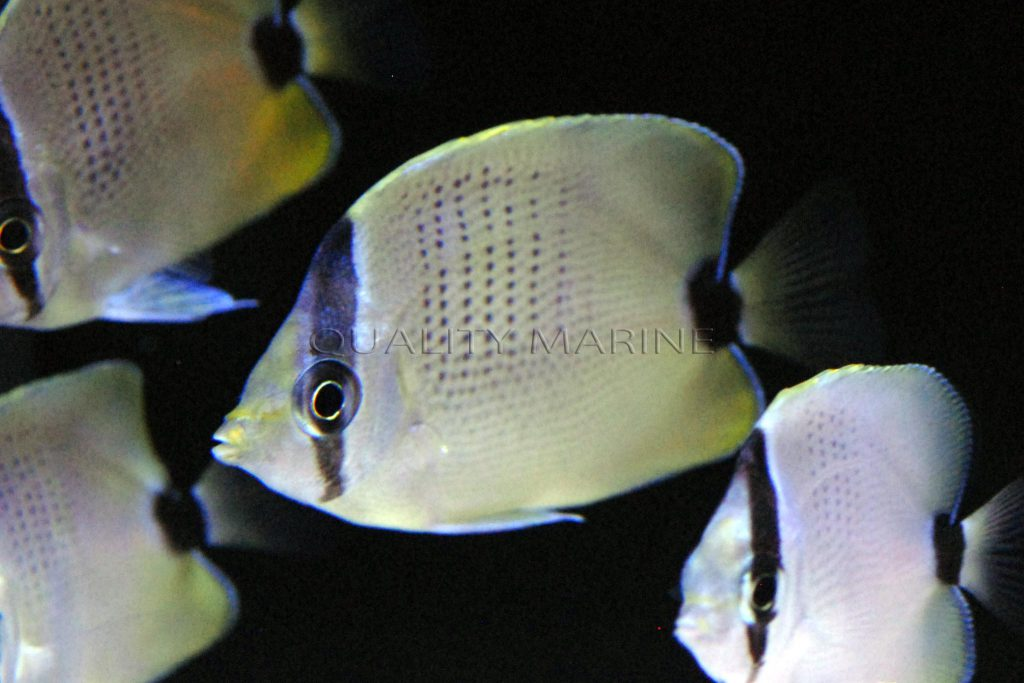 Captive-bred Chaetodon miliaris have made their trade debut through Quality Marine.