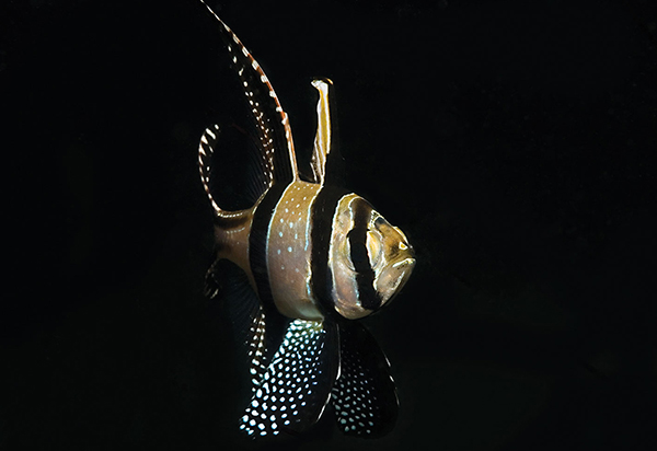 The dazzling Banggai Cardinalfish still poses a dilemma for those who follow its populations in a remote archipelago in Indonesia. Image: Colin Foord.
