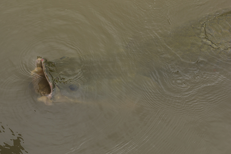 Large adult Arapaima surfacing for air. During the breeding season pairs become quite territorial