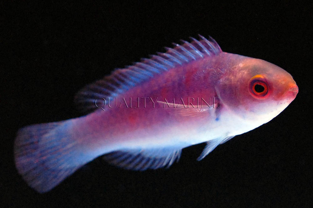 One more look at Darwin's Glow Fairy Wrasse. Image courtesy Quality Marine