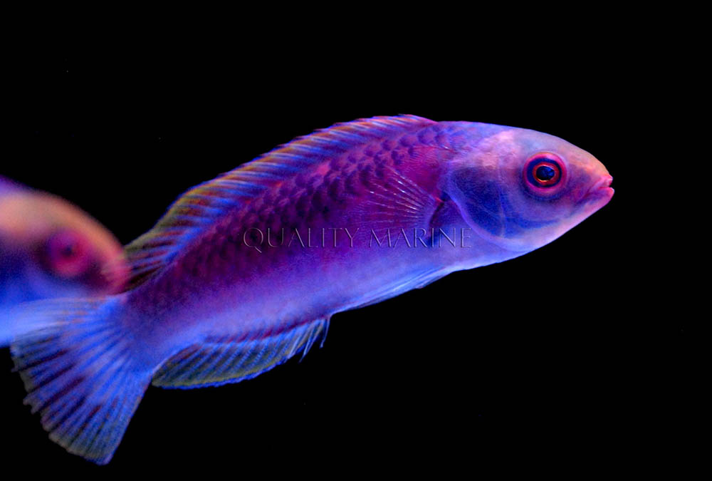 Another look at Darwin's Glow Fairy Wrasse. Image courtesy Quality Marine